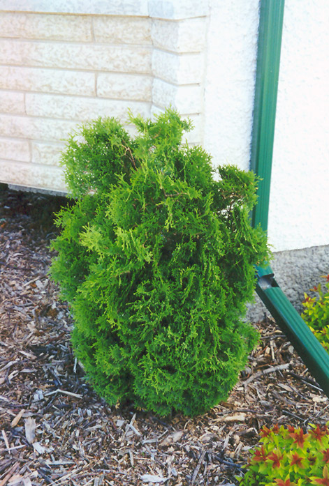 Landscaping Trees Regina : Holmstrup arborvitae thuja occidentalis at dutch growers