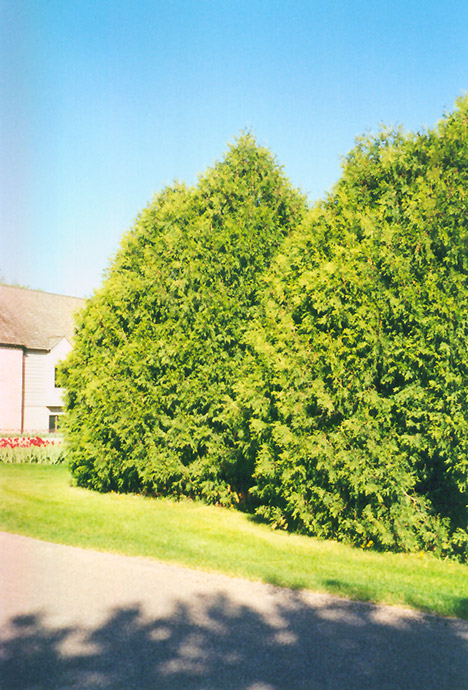 Landscaping Trees Regina : Click to view full size photo of techny arborvitae thuja occidentalis