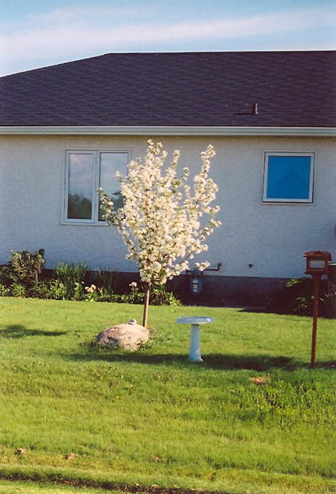 Battleford Apple (Malus 'Battleford') in Regina