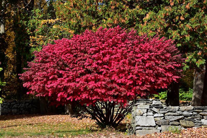 Winged Burning Bush (Euonymus alatus) in Regina