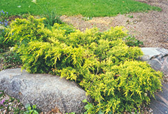 Gold Coast Juniper (Juniperus x media 'Gold Coast') at Dutch Growers Garden Centre