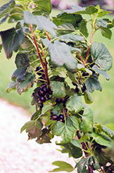 Black Currant (Ribes nigrum) at Dutch Growers Garden Centre