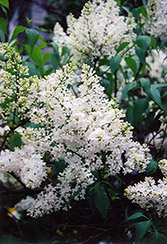 Mount Baker Lilac (Syringa x hyacinthiflora 'Mount Baker') at Dutch Growers Garden Centre