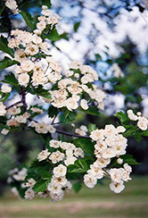 Snowbird Hawthorn (Crataegus x mordenensis 'Snowbird') at Dutch Growers Garden Centre