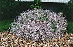 Pink Fairy Baby's Breath (Gypsophila paniculata 'Pink Fairy') at Dutch Growers Garden Centre