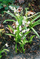 White Spring Squills (Scilla sibirica 'Alba') at Dutch Growers Garden Centre