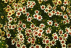 Snowberry Tickseed (Coreopsis 'Snowberry') at Dutch Growers Garden Centre