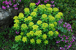 Cushion Spurge (Euphorbia polychroma) at Dutch Growers Garden Centre