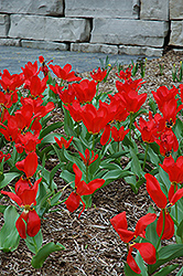 Red Emperor Tulip (Tulipa fosteriana 'Red Emperor') at Dutch Growers Garden Centre