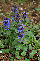 Caitlin's Giant Bugleweed (Ajuga reptans 'Caitlin's Giant') at Dutch Growers Garden Centre