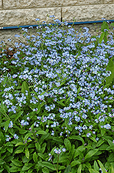 Forget-Me-Not (Myosotis sylvatica) at Dutch Growers Garden Centre