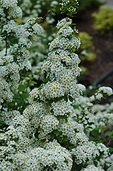 Fairy Queen Spirea (Spiraea trilobata 'Fairy Queen') at Dutch Growers Garden Centre