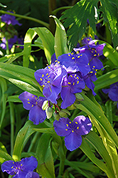 Sweet Kate Spiderwort (Tradescantia x andersoniana 'Sweet Kate') at Dutch Growers Garden Centre
