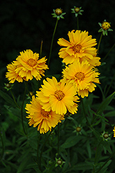 Early Sunrise Tickseed (Coreopsis 'Early Sunrise') at Dutch Growers Garden Centre