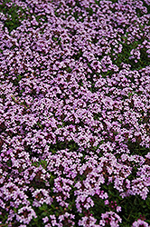 Red Creeping Thyme (Thymus praecox 'Coccineus') at Dutch Growers Garden Centre