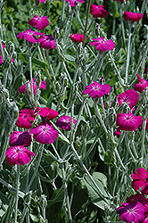 Rose Campion (Lychnis coronaria) at Dutch Growers Garden Centre
