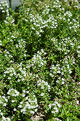 White Moss Thyme (Thymus praecox 'Albus') at Dutch Growers Garden Centre