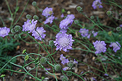 Butterfly Blue Pincushion Flower (Scabiosa 'Butterfly Blue') at Dutch Growers Garden Centre