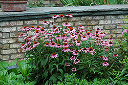 Magnus Coneflower (Echinacea purpurea 'Magnus') at Dutch Growers Garden Centre