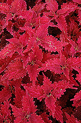 Stained Glass Copper Coleus (Solenostemon scutellarioides 'Stained Glass Copper') at Dutch Growers Garden Centre
