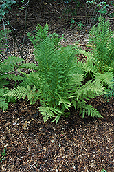 Lady Fern (Athyrium filix-femina) at Dutch Growers Garden Centre