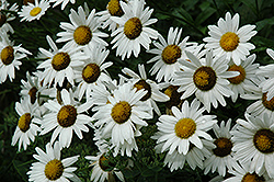 Alaska Shasta Daisy (Leucanthemum x superbum 'Alaska') at Dutch Growers Garden Centre