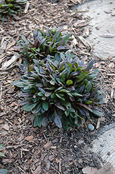 Chocolate Chip Bugleweed (Ajuga reptans 'Chocolate Chip') at Dutch Growers Garden Centre