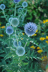 Globe Thistle (Echinops ritro) at Dutch Growers Garden Centre