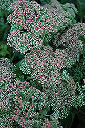 Autumn Joy Stonecrop (Sedum 'Autumn Joy') at Dutch Growers Garden Centre