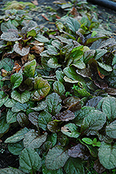Bronze Beauty Bugleweed (Ajuga reptans 'Bronze Beauty') at Dutch Growers Garden Centre