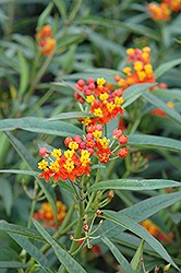 Red Butterfly Milkweed (Asclepias curassavica 'Red Butterfly') at Dutch Growers Garden Centre