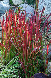 Red Baron Japanese Blood Grass (Imperata cylindrica 'Red Baron') at Dutch Growers Garden Centre