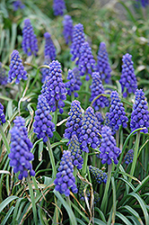 Grape Hyacinth (Muscari armeniacum) at Dutch Growers Garden Centre