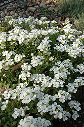 Snowcap Wall Cress (Arabis caucasica 'Snowcap') at Dutch Growers Garden Centre
