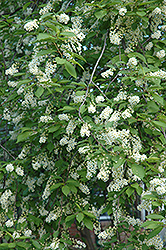 Schubert Chokecherry (Prunus virginiana 'Schubert') at Dutch Growers Garden Centre