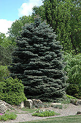 Fat Albert Blue Spruce (Picea pungens 'Fat Albert') at Dutch Growers Garden Centre