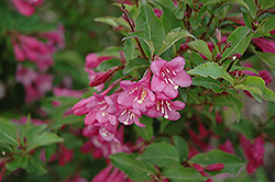 Minuet Weigela (Weigela florida 'Minuet') at Dutch Growers Garden Centre