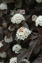 Diablo Ninebark (Physocarpus opulifolius 'Diablo') at Dutch Growers Garden Centre