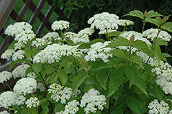 Blue Muffin® Viburnum (Viburnum dentatum 'Christom') at Dutch Growers Garden Centre