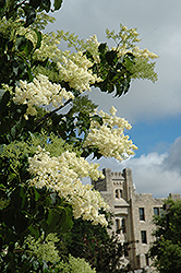Ivory Silk Japanese Tree Lilac (Syringa reticulata 'Ivory Silk') at Dutch Growers Garden Centre