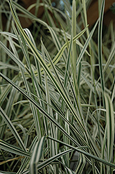 Variegated Oat Grass (Arrhenatherum elatum 'Variegatum') at Dutch Growers Garden Centre