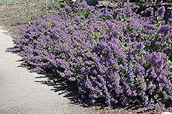 Walker's Low Catmint (Nepeta x faassenii 'Walker's Low') at Dutch Growers Garden Centre
