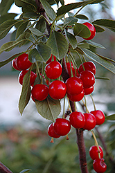 Evans Cherry (Prunus 'Evans') at Dutch Growers Garden Centre