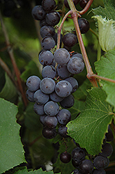 Minnesota 78 Grape (Vitis 'Minnesota 78') at Dutch Growers Garden Centre