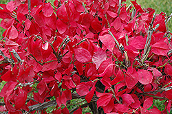 Compact Winged Burning Bush (Euonymus alatus 'Compactus') at Dutch Growers Garden Centre