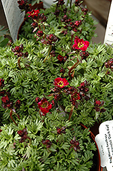 Dark Red Saxifrage (Saxifraga x arendsii 'Dark Red') at Dutch Growers Garden Centre