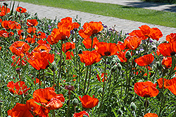 Brilliant Poppy (Papaver orientale 'Brilliant') at Dutch Growers Garden Centre