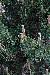 Tannenbaum Mugo Pine (Pinus mugo 'Tannenbaum') at Dutch Growers Garden Centre