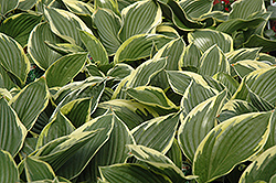 Golden Variegated Hosta (Hosta fortunei 'Aureomarginata') at Dutch Growers Garden Centre