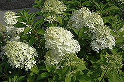 Little Lamb Hydrangea (Hydrangea paniculata 'Little Lamb') at Dutch Growers Garden Centre